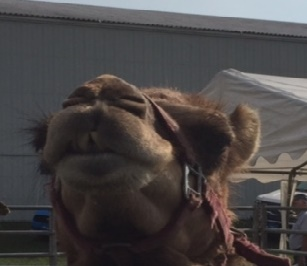 close=up of a camel's head showing two large, uneven teeth peeking out from between its lips
